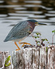 Green-Backed Heron (Butorides striata virescens)