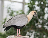 Black-faced Ibis (Theristicus melanopis)
