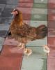 Red Junglefowl (Gallus gallus), Red Junglefowl [Juvenile] (Gallus gallus)