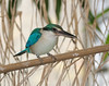 Collared Kingfisher (Todiramphus chloris)