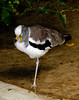 White-headed Lapwing (Vanellus albiceps)