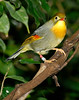 Red-billed Leiothrix (Leiothrix lutea)