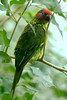 Goldie's Lorikeet (Psitteuteles goldiei)