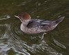 Hooded Merganser [Female] (Lophodytes cucullatus)