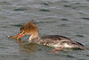 Red-breasted Merganser [Female] (Mergus serrator)