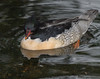 Scaly-sided Merganser (Mergus squamatus)