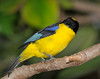 Blue-winged Mountain-tanager (Anisognathus somptuosus)