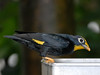 Golden-crested Myna [Female] (Ampeliceps coronatus)