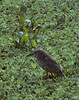 Yellow-crowned Night-heron [Juvenile] (Nyctanassa violacea)