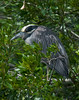 Yellow-crowned Night-heron (Nyctanassa violacea)