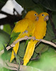 Golden Parakeet (Guaruba guarouba)