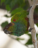 Ochre-marked Parakeet (Pyrrhura cruentata)