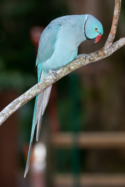 Rose-Ringed Parakeet [Blue Mutation] (Psittacula krameri)