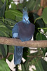 Victoria-crowned Pigeon (Goura victoria)