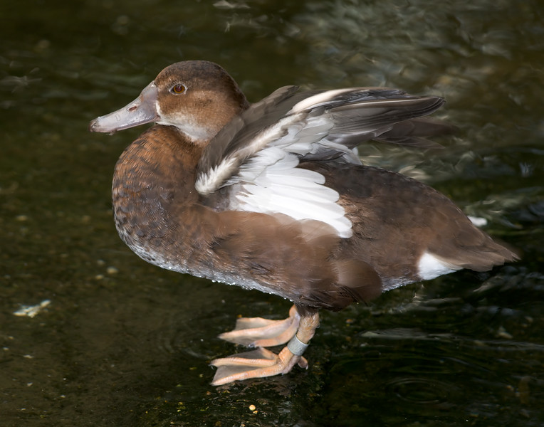 Rosy-billed Pochard [Female] (Netta peposaca)