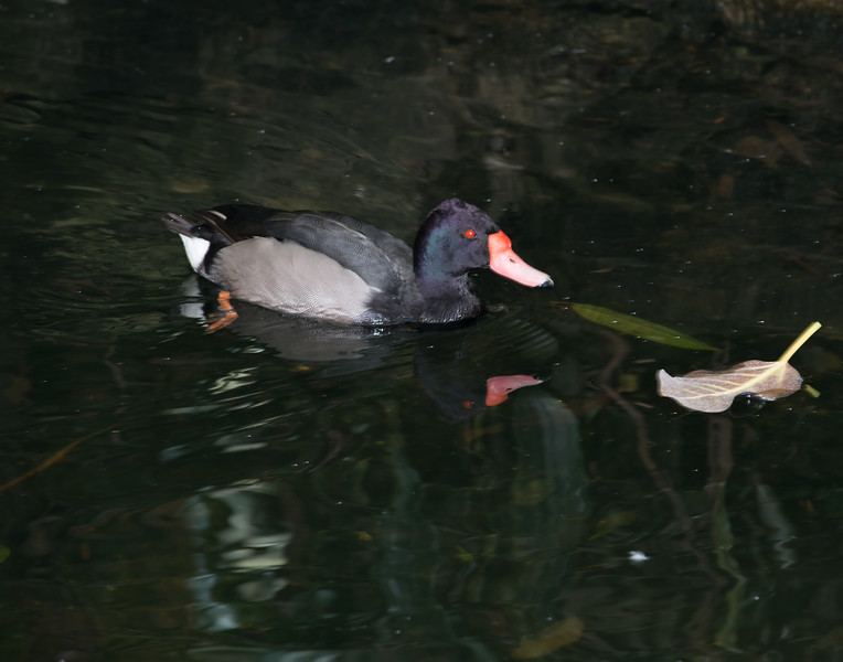 Rosy-billed Pochard (Netta peposaca)