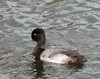 Greater Scaup (Aythya marila)