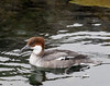 Smew [Female] (Mergellus albellus)