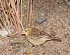 Sudan Golden Sparrow [Female] (Passer luteus)