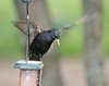 Common Starling (Sturnus vulgaris)