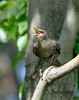 Common Starling [Juvenile] (Sturnus vulgaris)