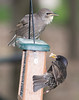 Common Starling (Sturnus vulgaris), Common Starling [Juvenile] (Sturnus vulgaris)