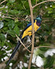 Golden-breasted Starling (Cosmopsarus regius)