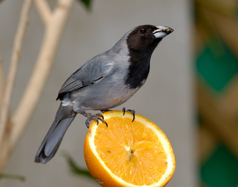 Black-faced Tanager (Schistochlamys melanopis)