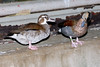 Ringed Teal (Callonetta leucophrys), Ringed Teal [Female] (Callonetta leucophrys)