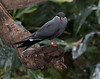 National Aviary: Pittsburgh, Pennsylvania<br /> Tern_Inca_MSL_0393 - 1/10/18 2:10:40 PM