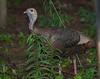 Wild Turkey [Female] (Meleagris gallopavo)