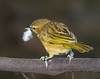 Taveta Golden Weaver [Female] (Ploceus castaneiceps)