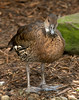 West Indian Whistling-Duck (Dendrocygna arborea)