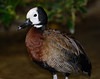 White-faced Whistling-duck (Dendrocygna viduata)