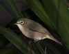 Saipan White-eye