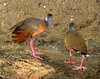 Gray-necked Wood-rail (Aramides cajaneus)