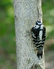 Hairy Woodpecker [Female] (Picoides villosus)