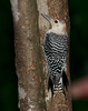 Red-bellied Woodpecker [Juvenile] (Melanerpes carolinus)