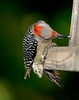 Red-bellied Woodpecker [Female] (Melanerpes carolinus)