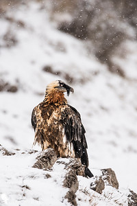 Bearded vulture - (Gypaetus barbatus)