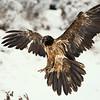 Bearded vulture - (Gypaetus barbatus)