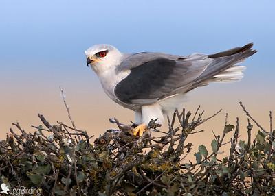Wildlife bird images. Black-winged series. Images taken around a natural feeder.