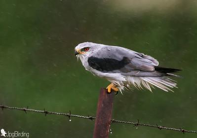 Black-winged Kite (Elanus caeruleus) - raining