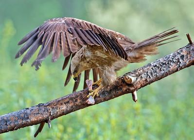 Wildlife bird images.Black Kite series. Standing.