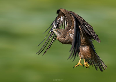 Black Kite series. In flight