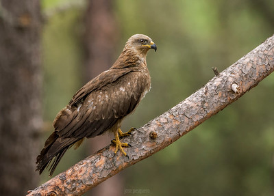 Black Kite series. Standing.
