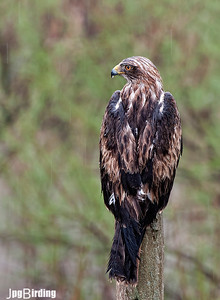 Wildlife bird images. Booted Eagle series. Under the rain