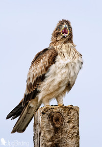 Booted Eagle - opening its mouth