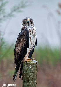 Wildlife bird images. Booted Eagle series. Under the rain.