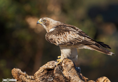 Booted Eagle with its prey.